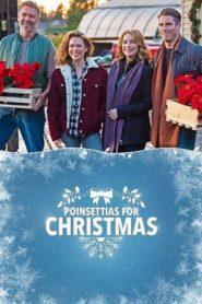 Poinsettias for Christmas 2018